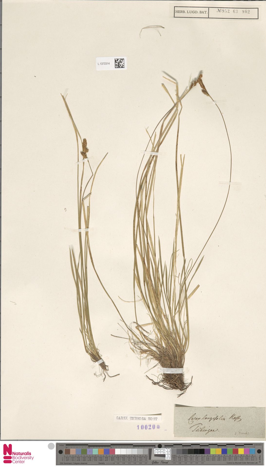 L.1372314 | Carex umbrosa Host
