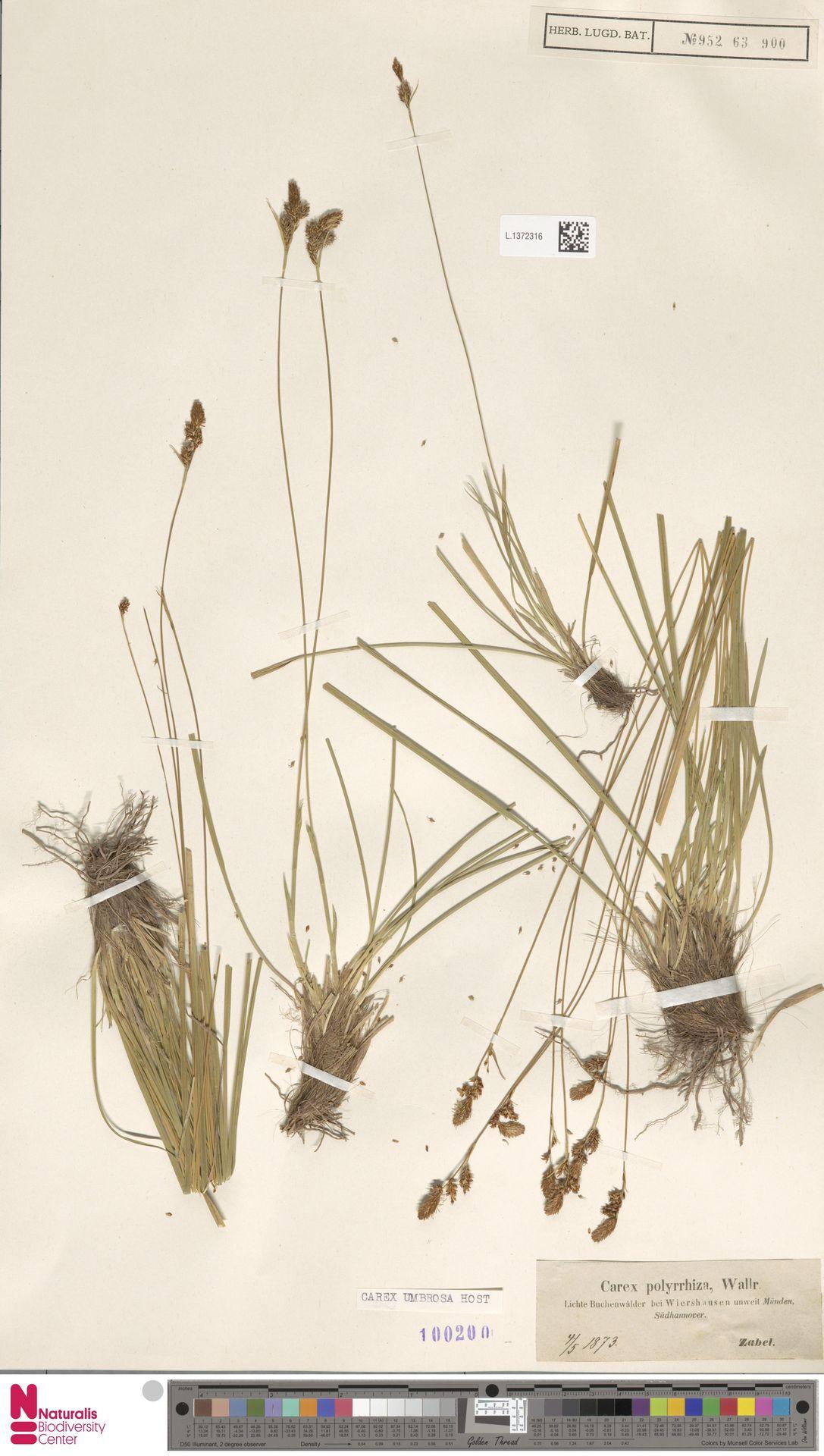 L.1372316 | Carex umbrosa Host
