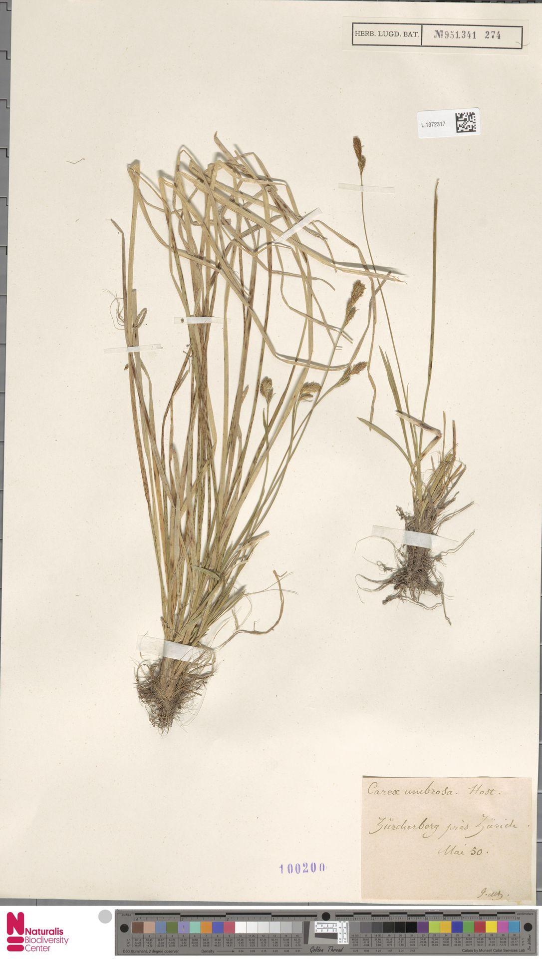 L.1372317 | Carex umbrosa Host