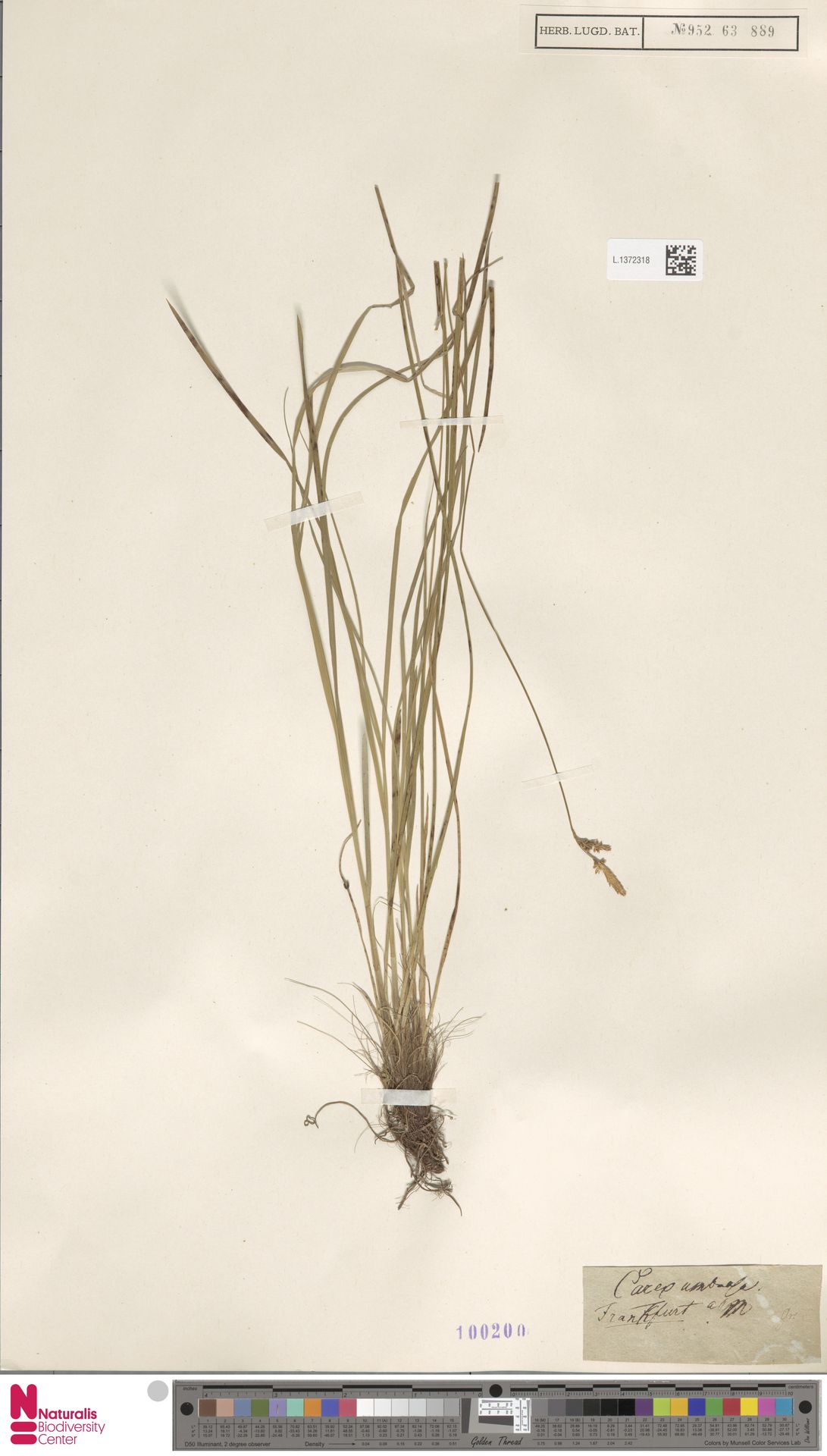 L.1372318 | Carex umbrosa Host
