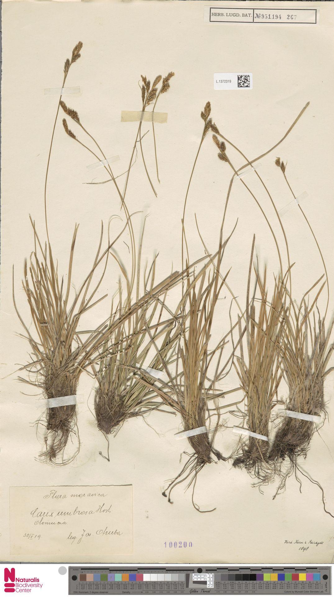 L.1372319 | Carex umbrosa Host