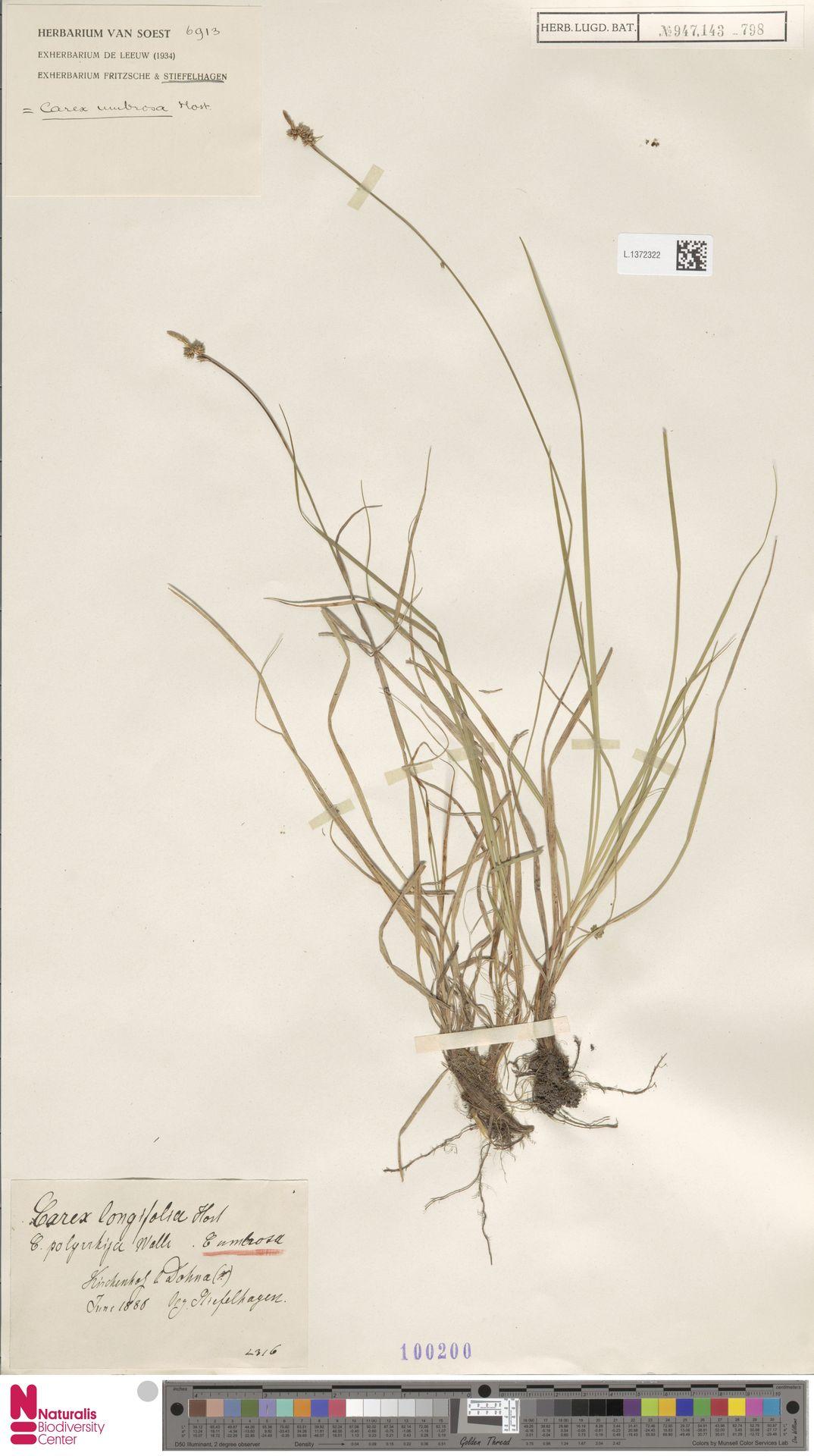 L.1372322 | Carex umbrosa Host