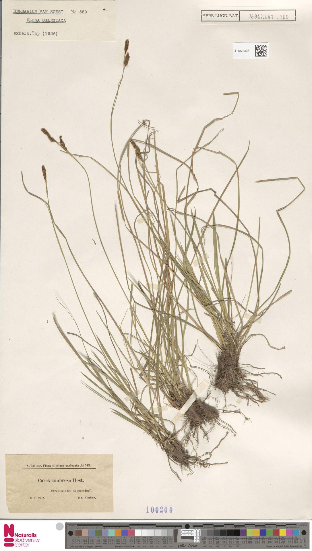 L.1372323 | Carex umbrosa Host