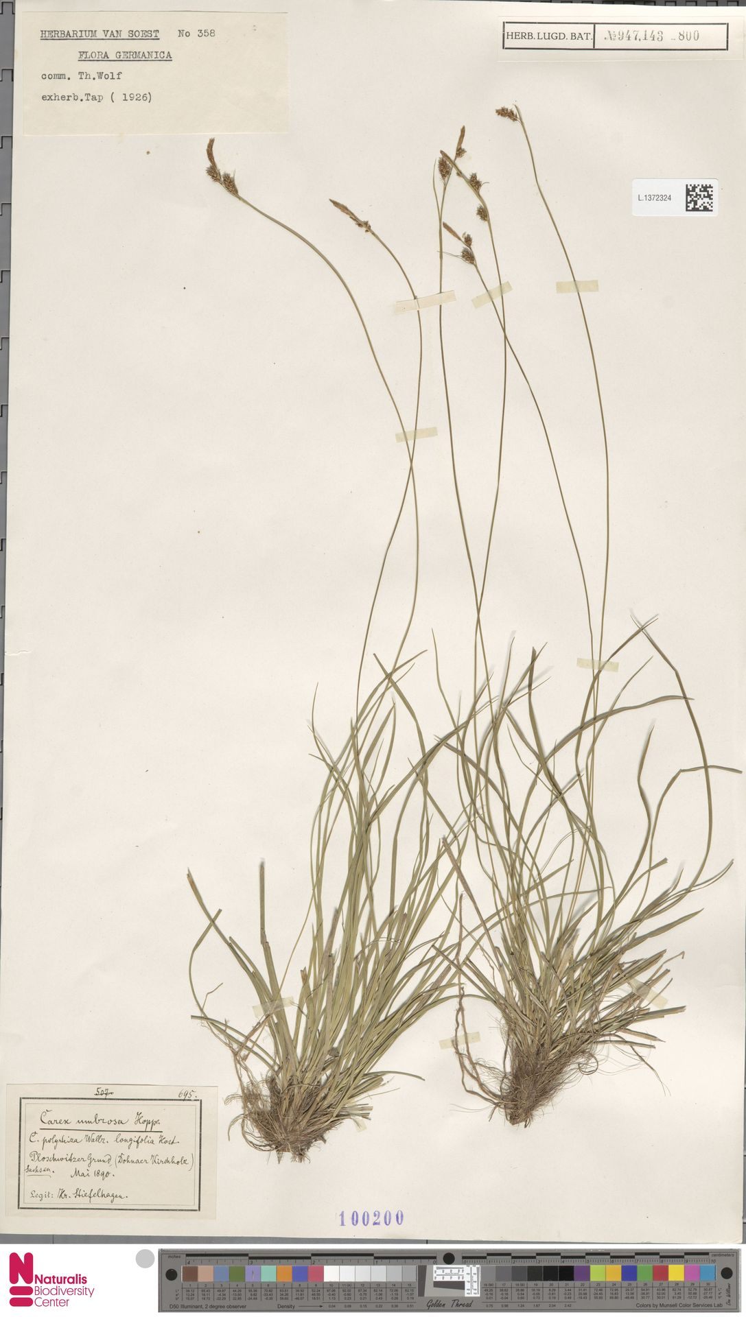 L.1372324   Carex umbrosa Host