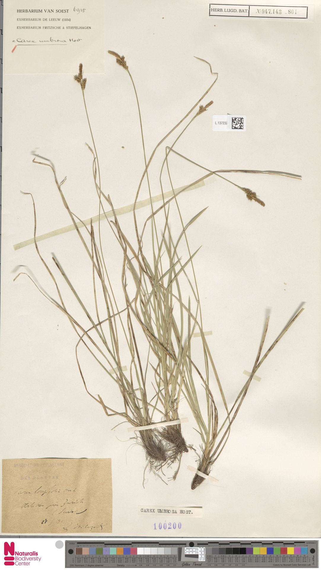 L.1372325 | Carex umbrosa Host
