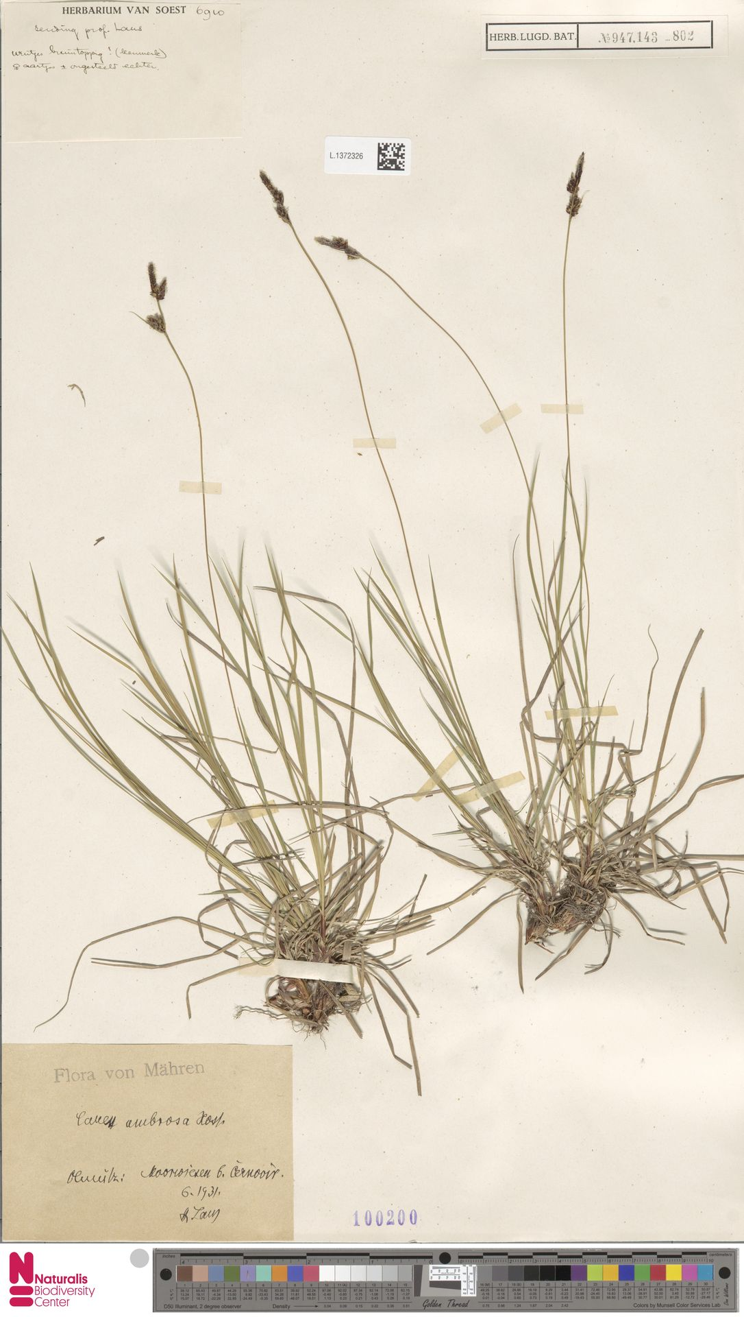 L.1372326 | Carex umbrosa Host