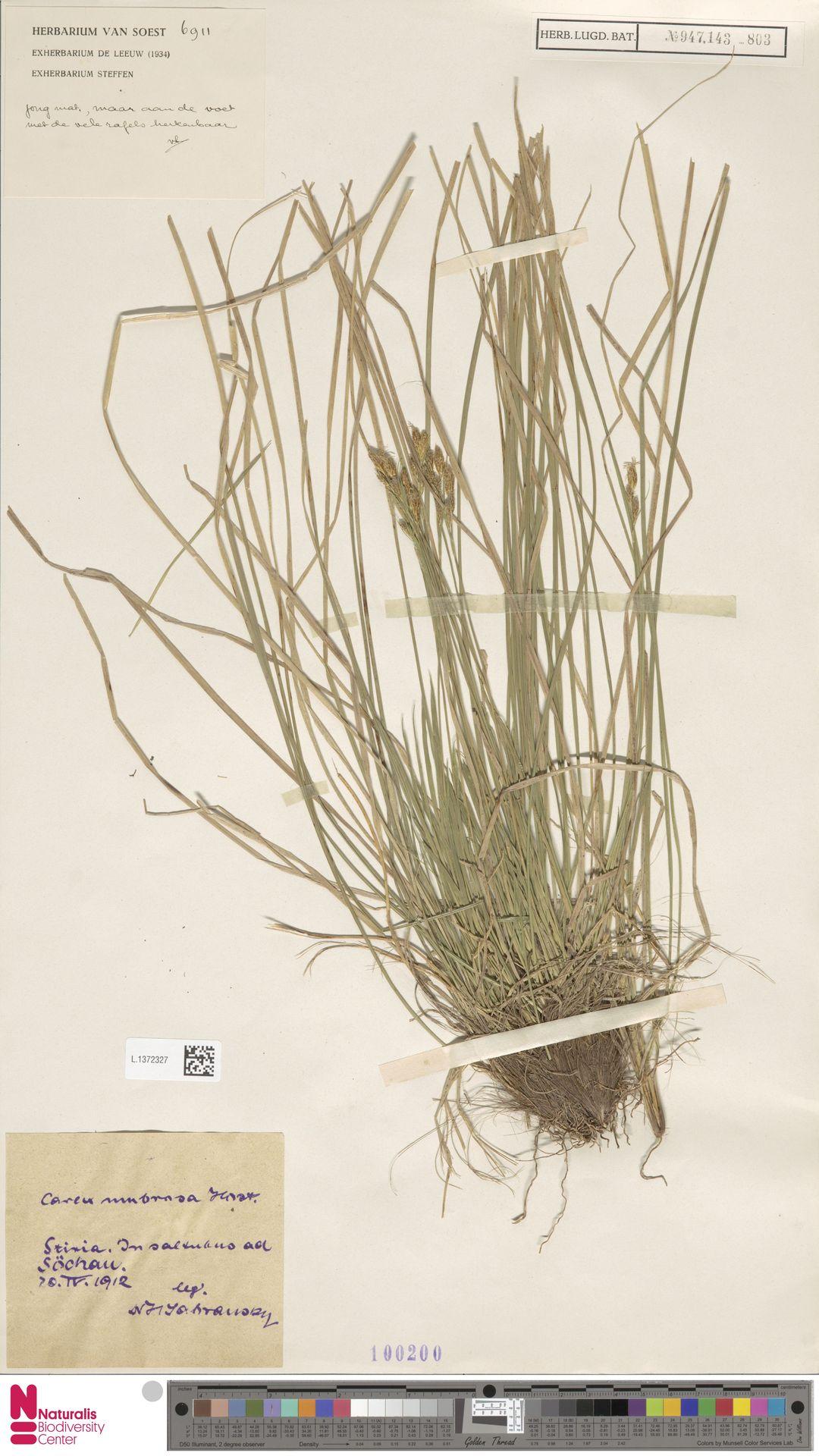 L.1372327 | Carex umbrosa Host