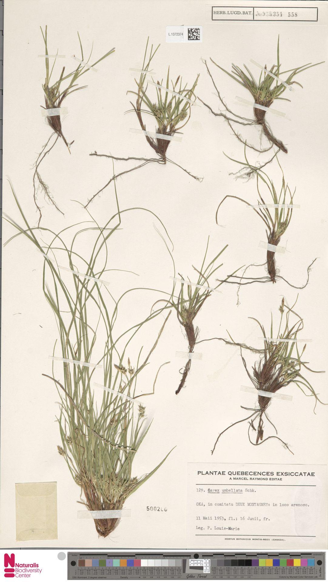 L.1372374 | Carex umbellata Willd.