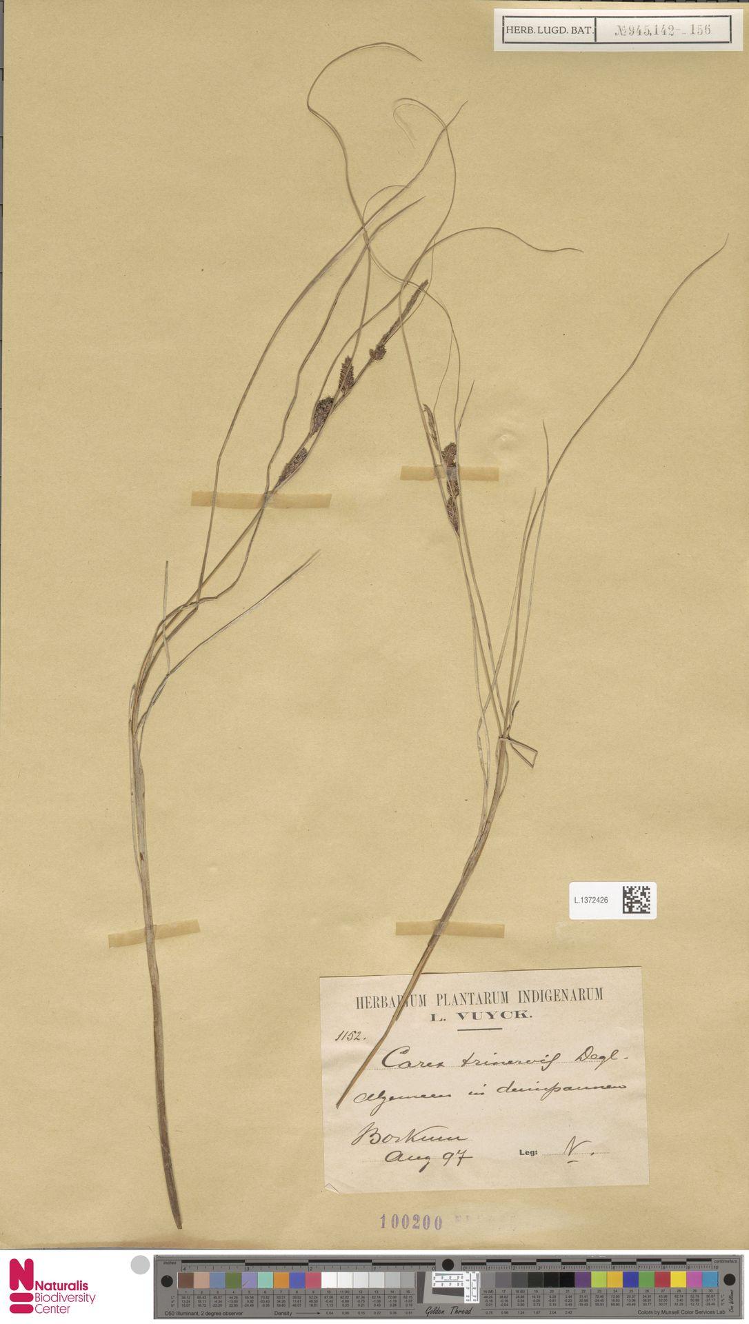 L.1372426 | Carex trinervis Degl.