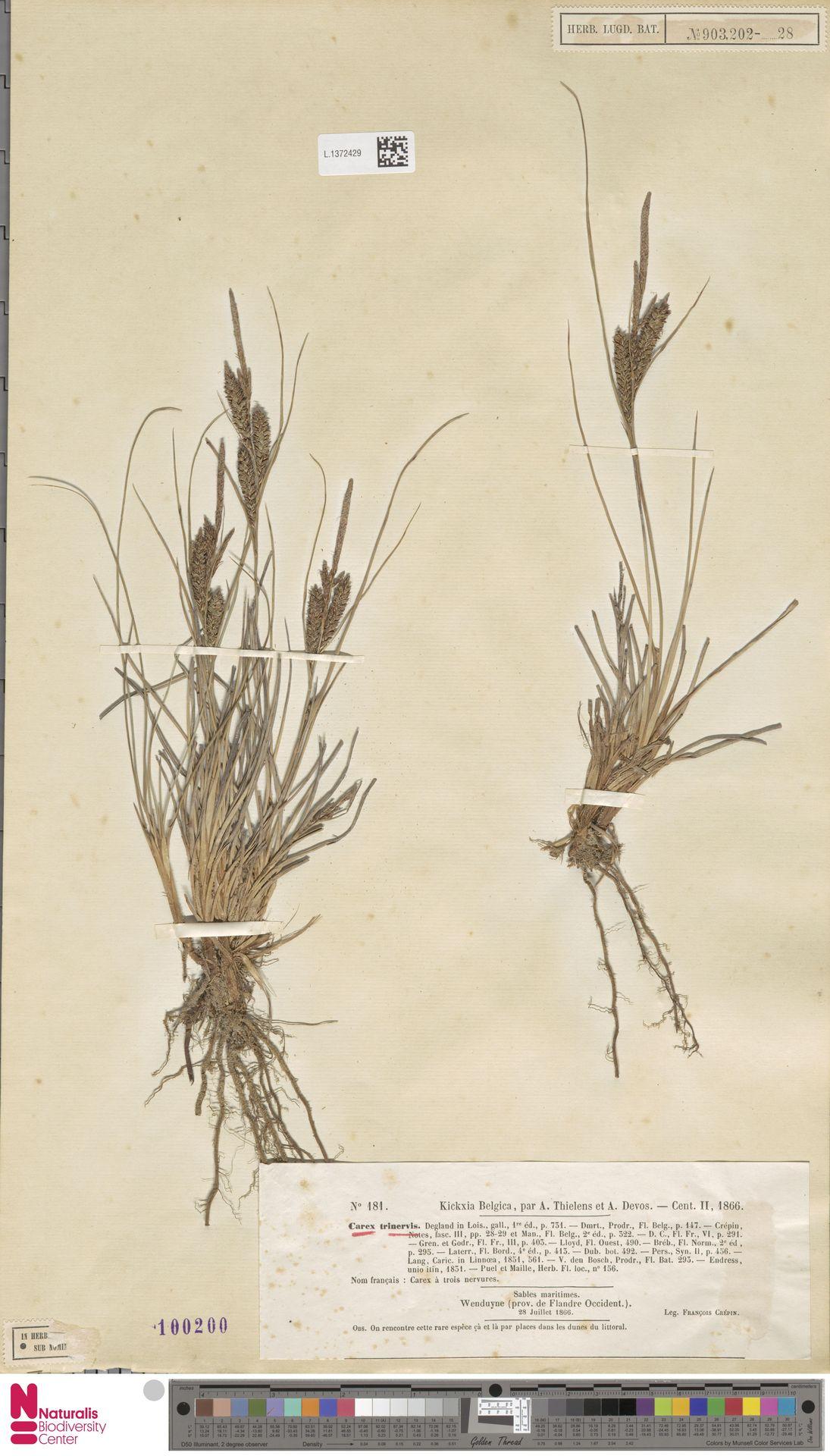 L.1372429 | Carex trinervis Degl.