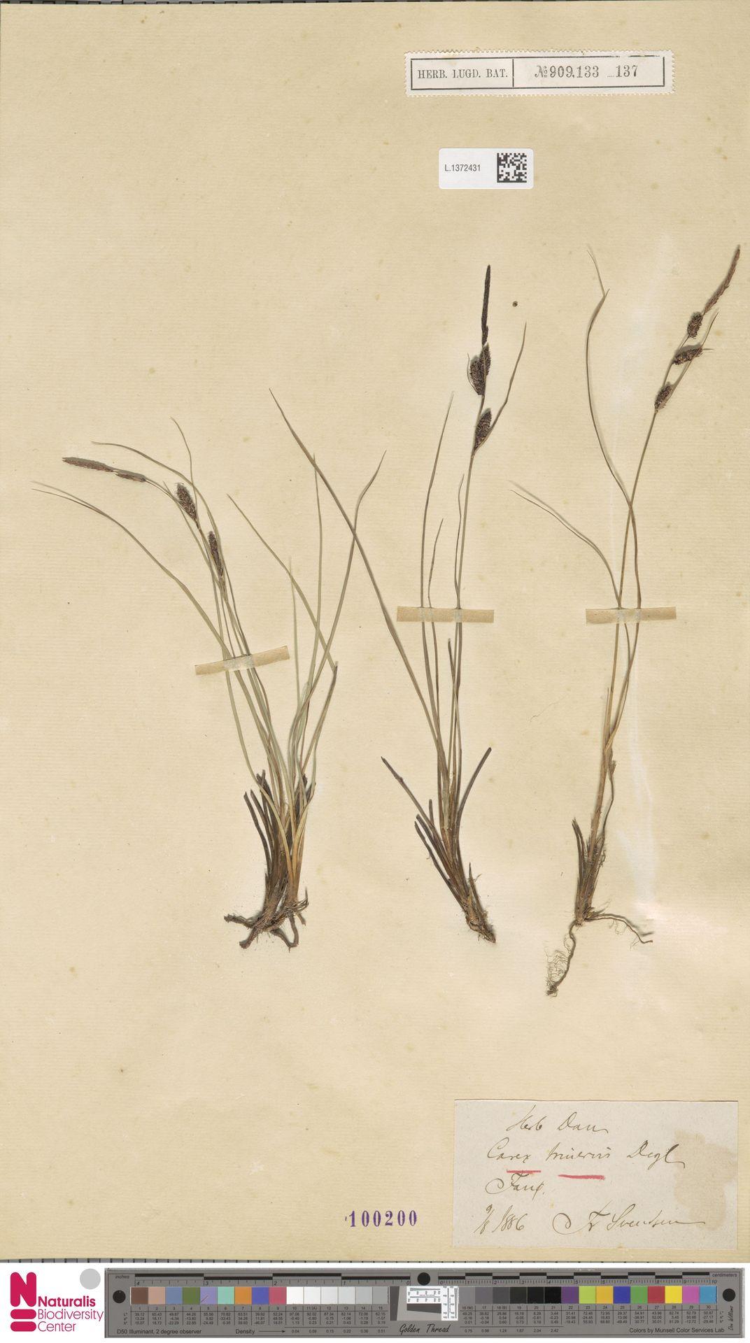 L.1372431 | Carex trinervis Degl.
