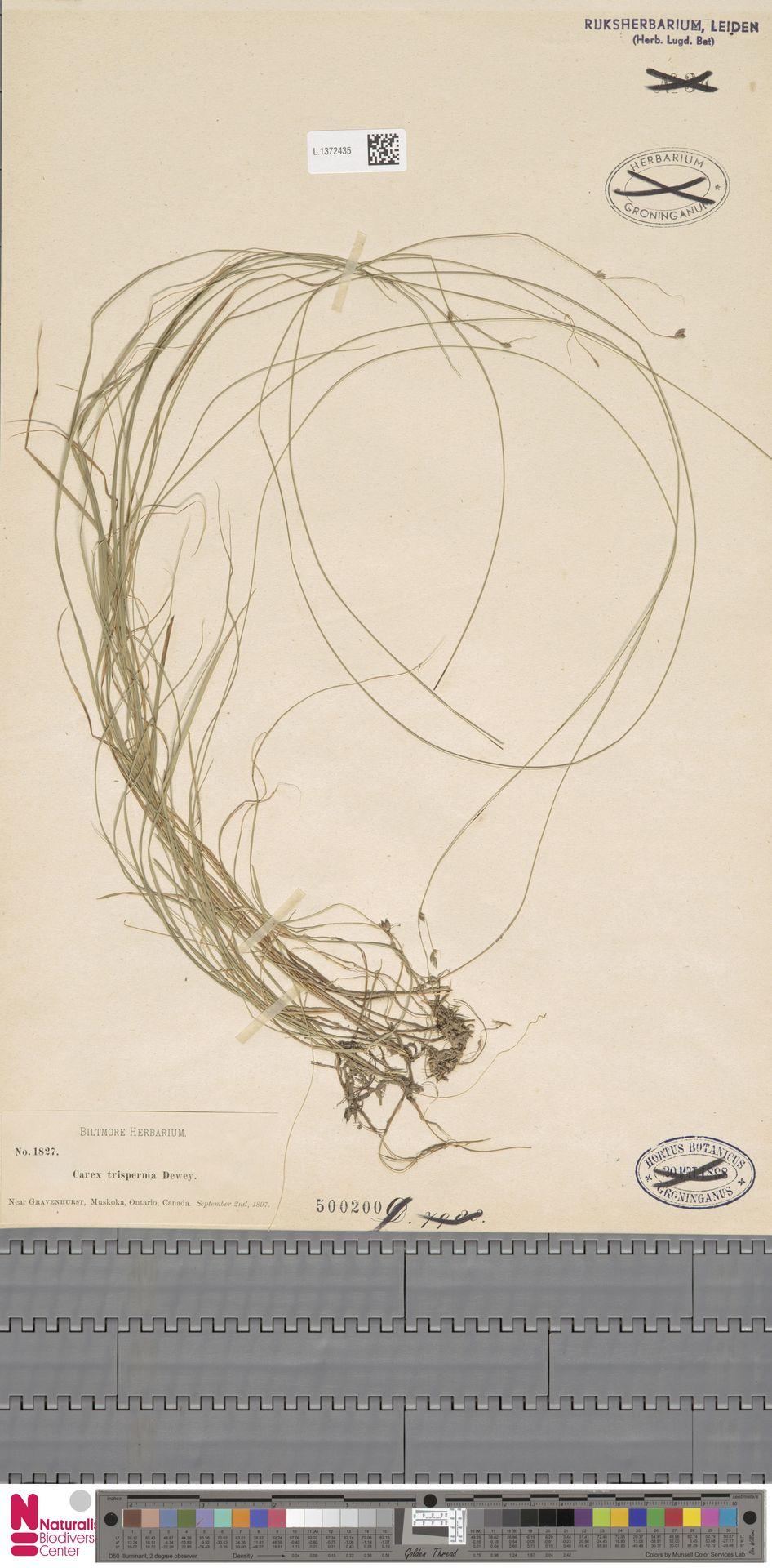 L.1372435 | Carex trisperma Dewey
