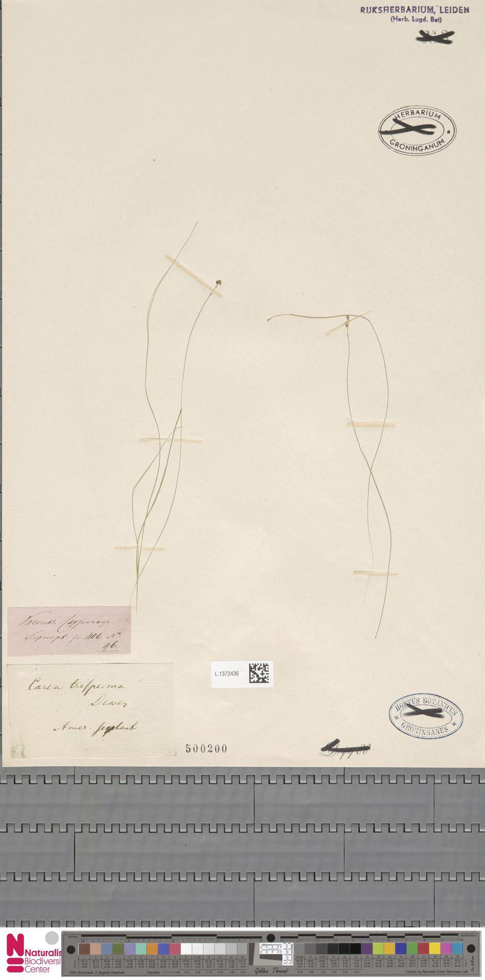 L.1372436 | Carex trisperma Dewey