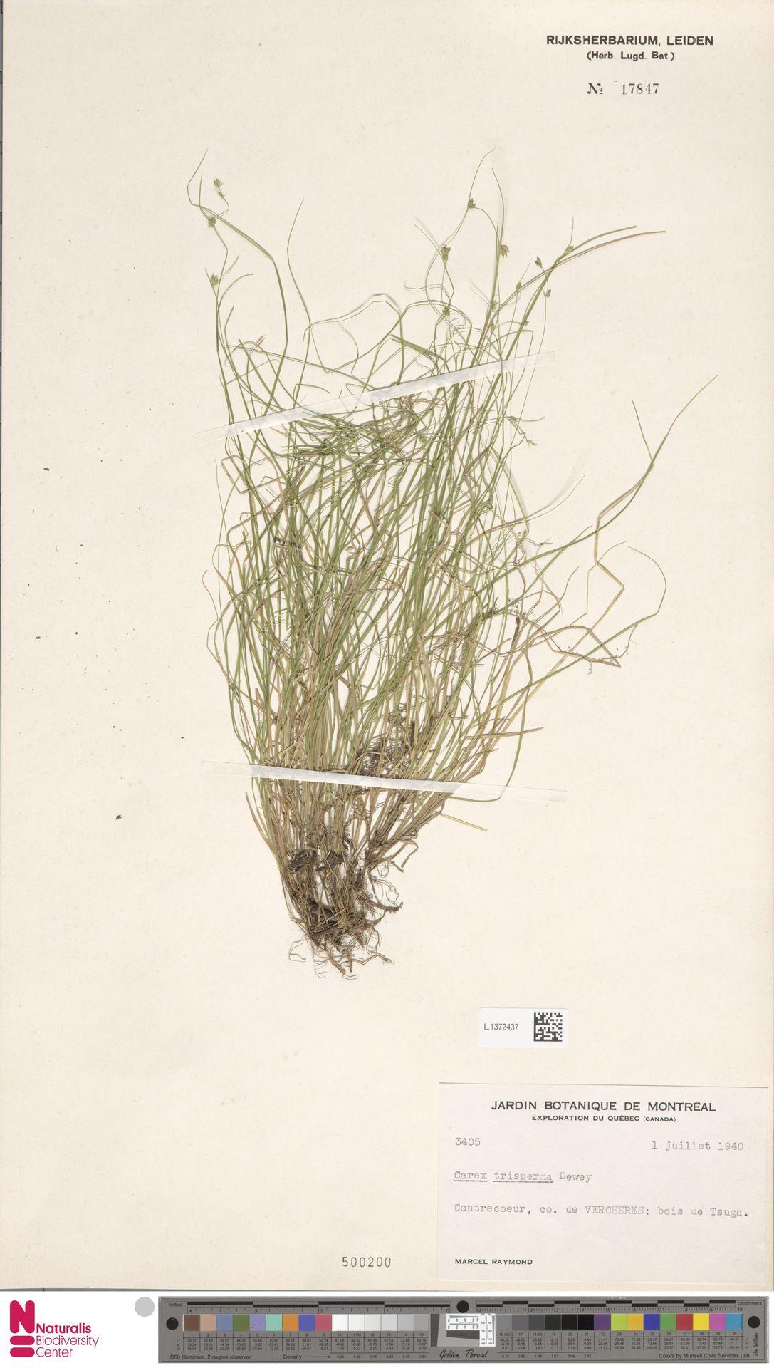 L.1372437 | Carex trisperma Dewey