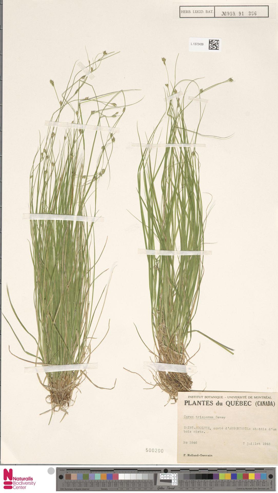 L.1372439 | Carex trisperma Dewey