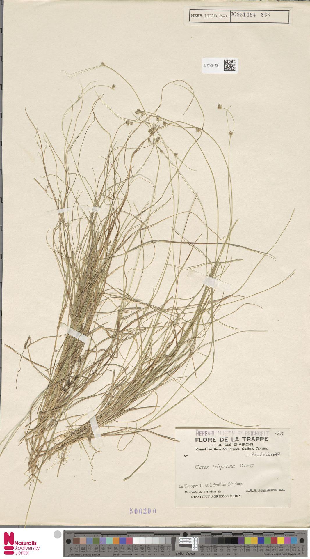 L.1372442 | Carex trisperma Dewey