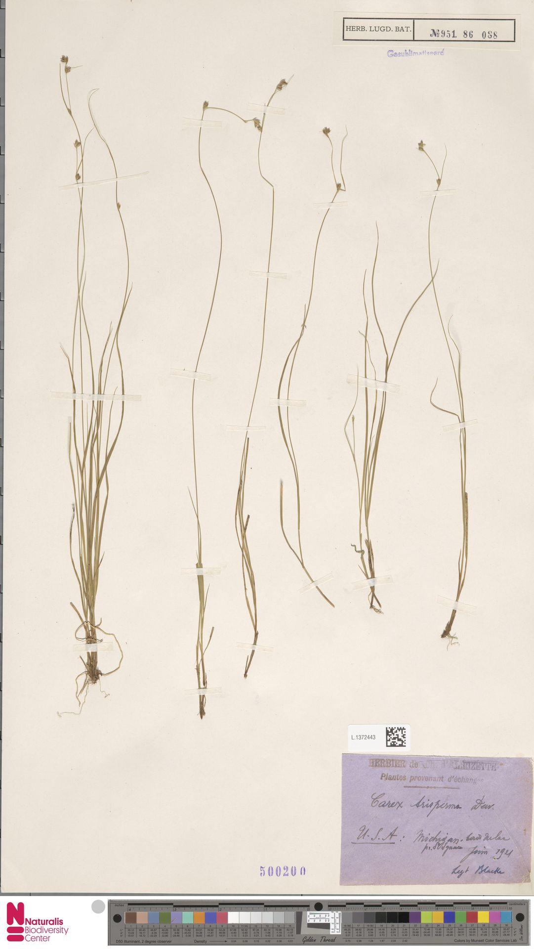 L.1372443 | Carex trisperma Dewey