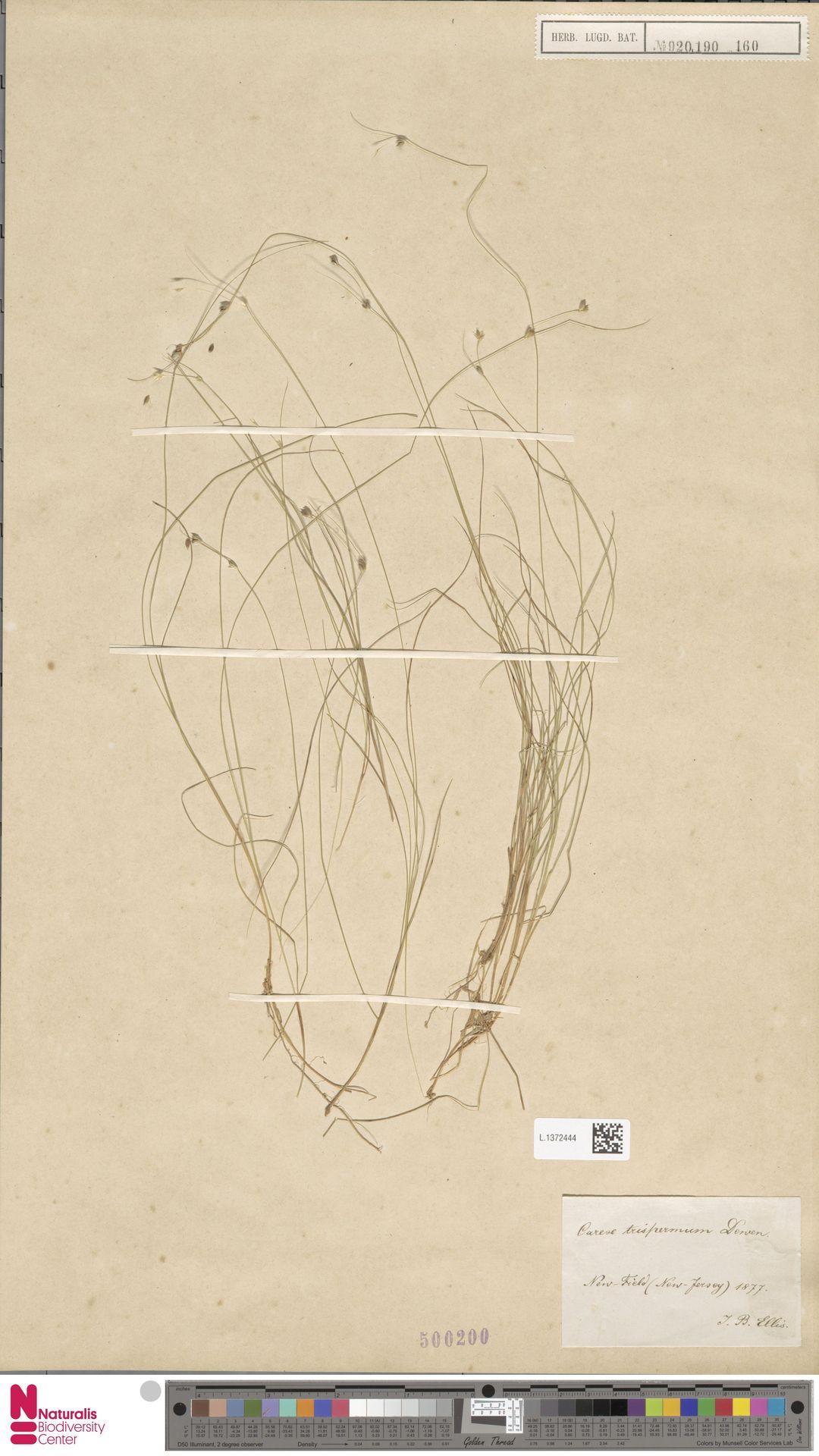 L.1372444   Carex trisperma Dewey