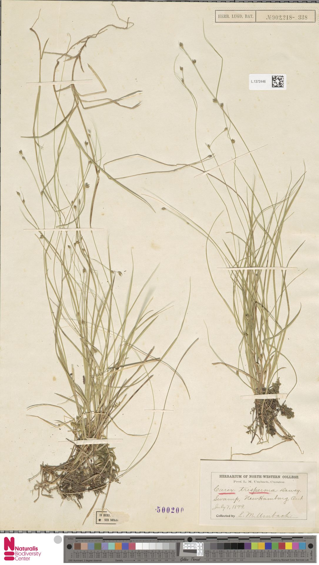 L.1372446   Carex trisperma Dewey
