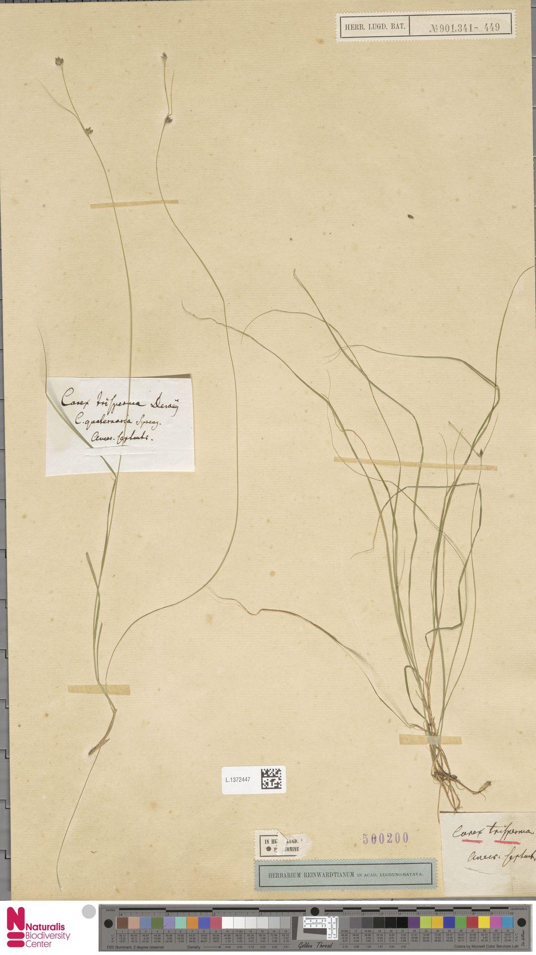 L.1372447   Carex trisperma Dewey