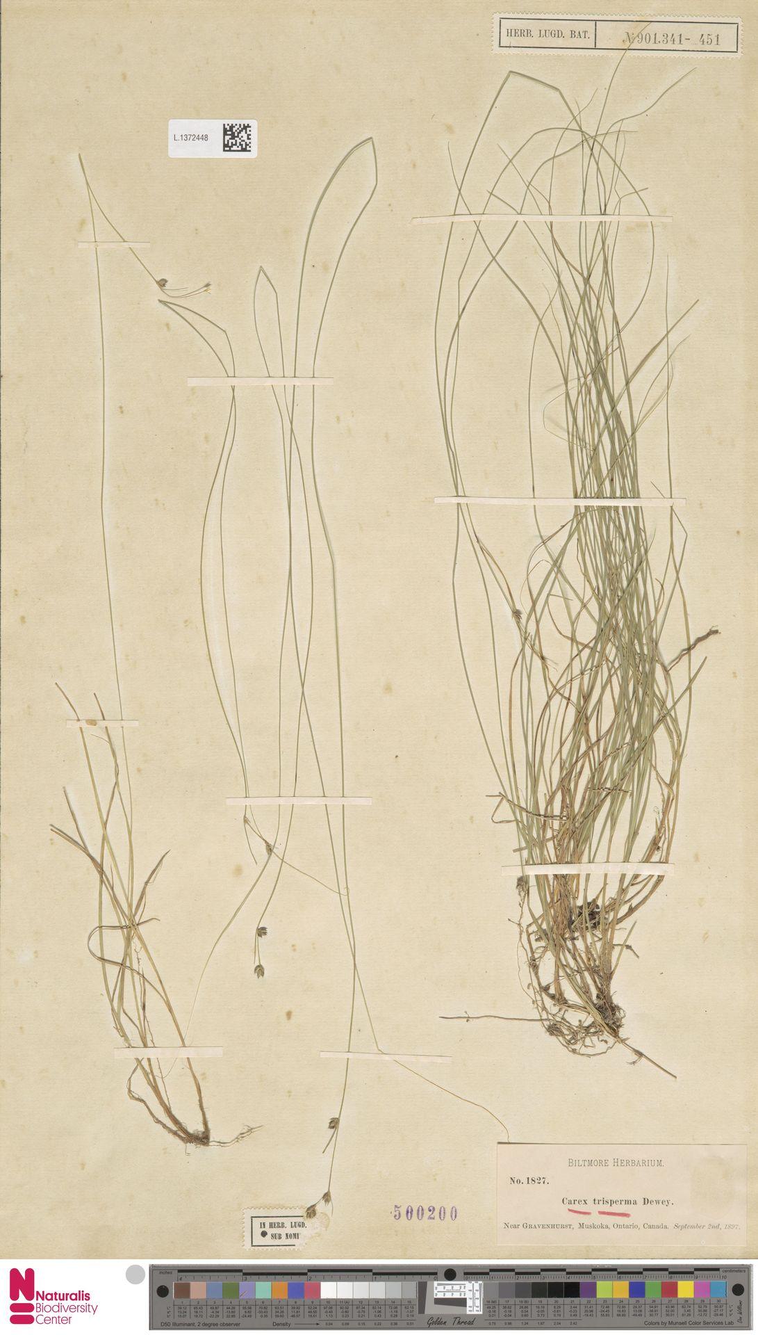 L.1372448 | Carex trisperma Dewey