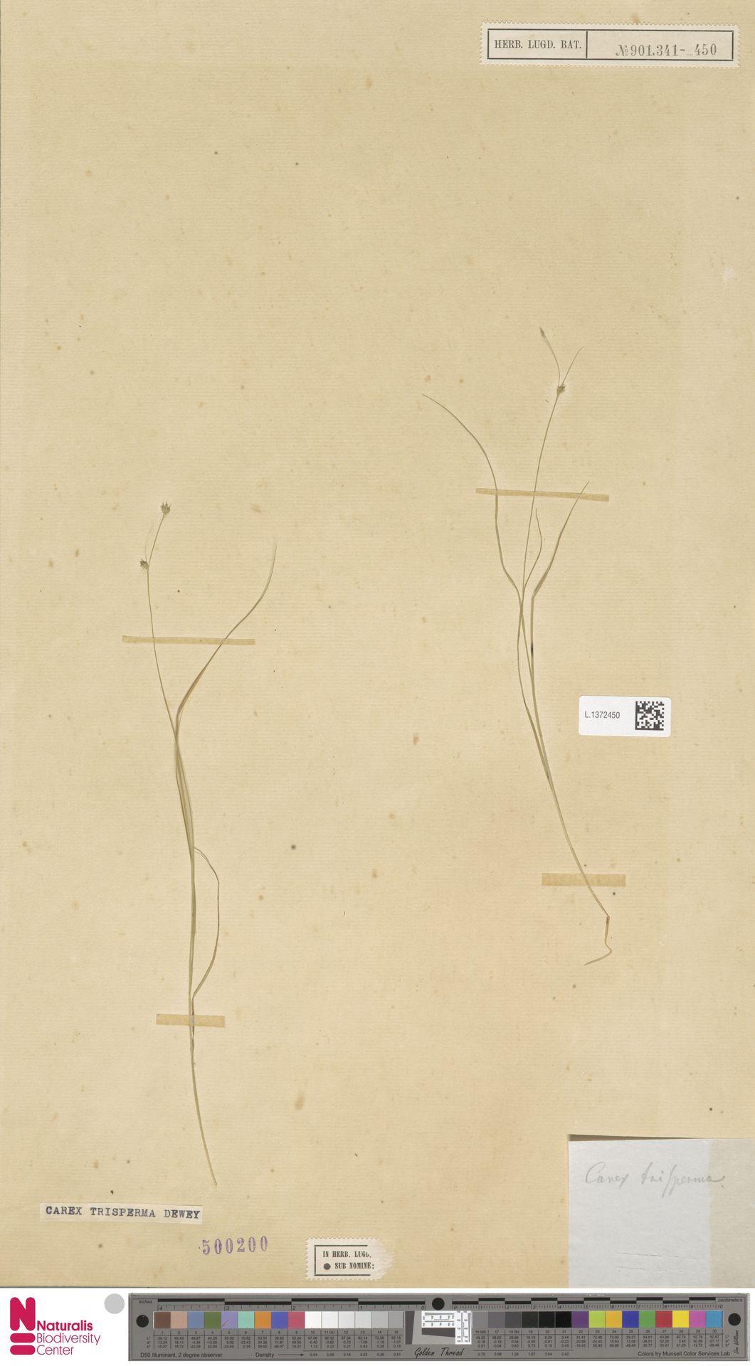 L.1372450 | Carex trisperma Dewey