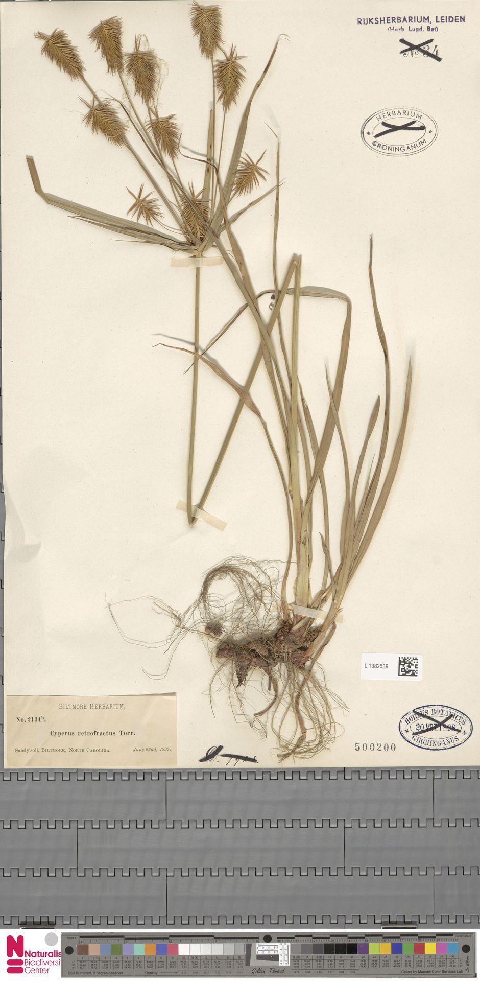L.1382539 | Cyperus retrofractus (L.) Torr.