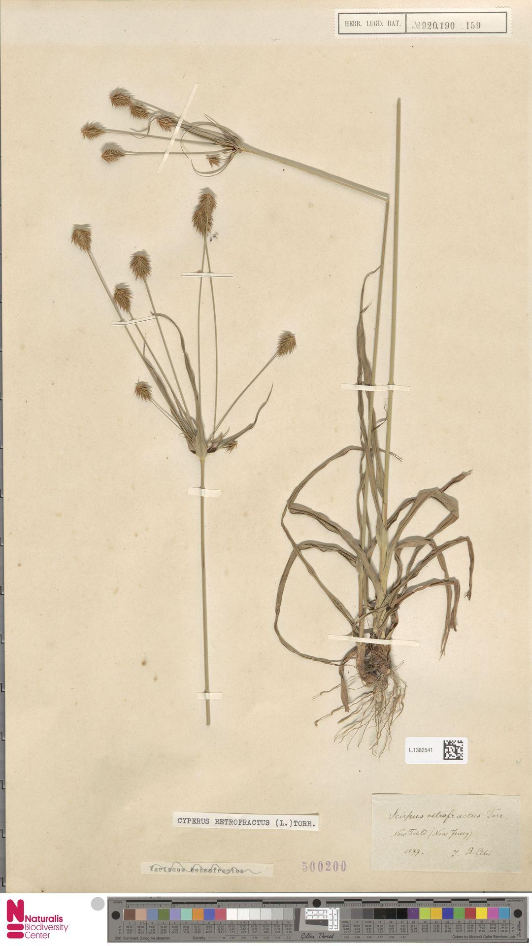 L.1382541 | Cyperus retrofractus (L.) Torr.