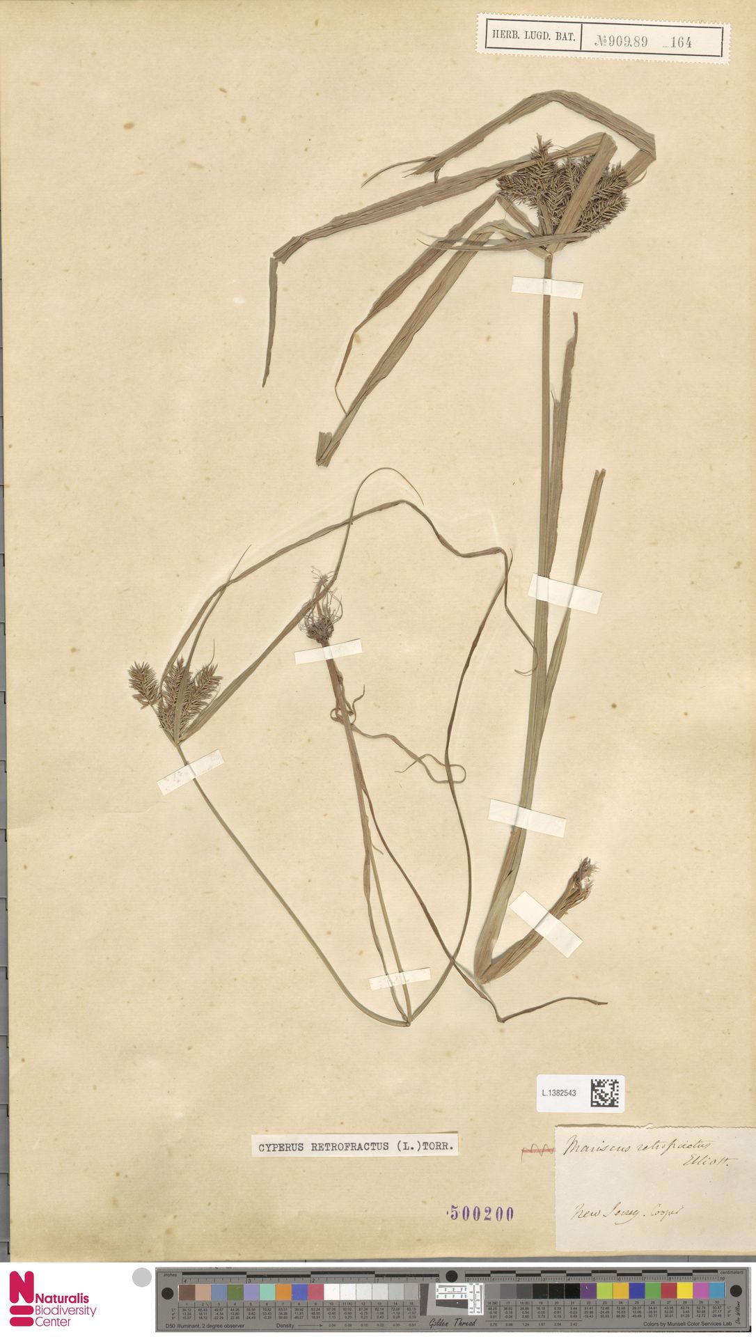 L.1382543 | Cyperus retrofractus (L.) Torr.