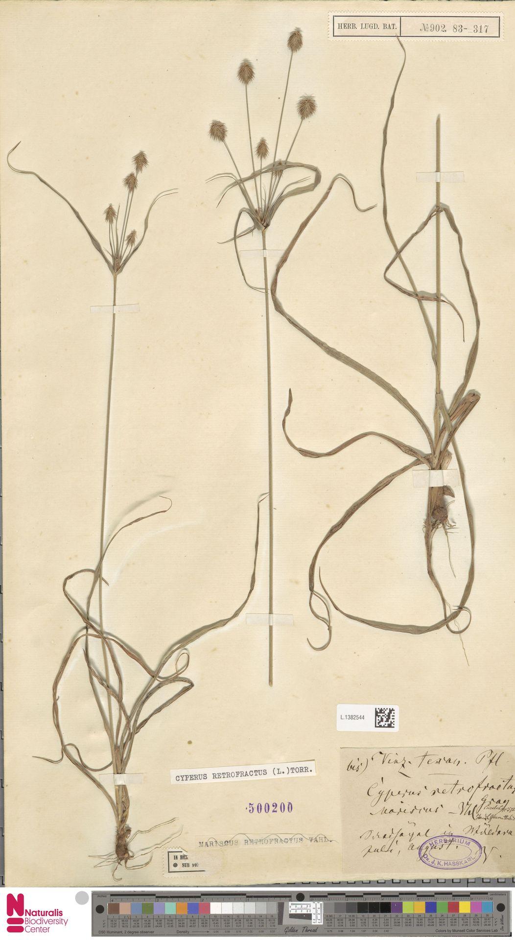 L.1382544 | Cyperus retrofractus (L.) Torr.