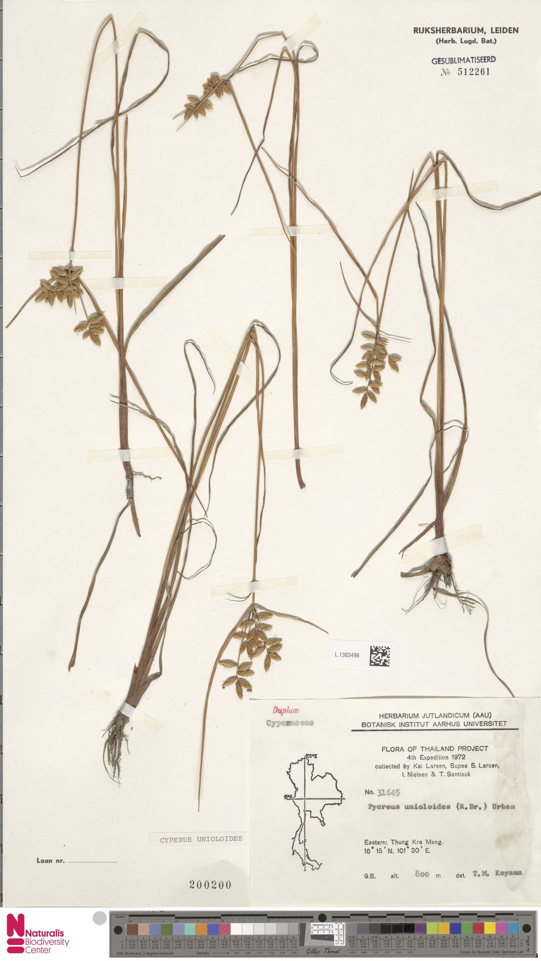 L.1383498 | Cyperus unioloides R.Br.