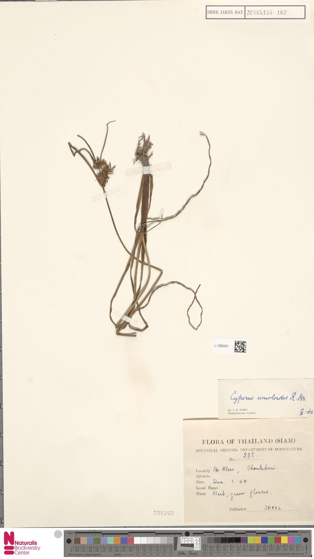L.1383501 | Cyperus unioloides R.Br.
