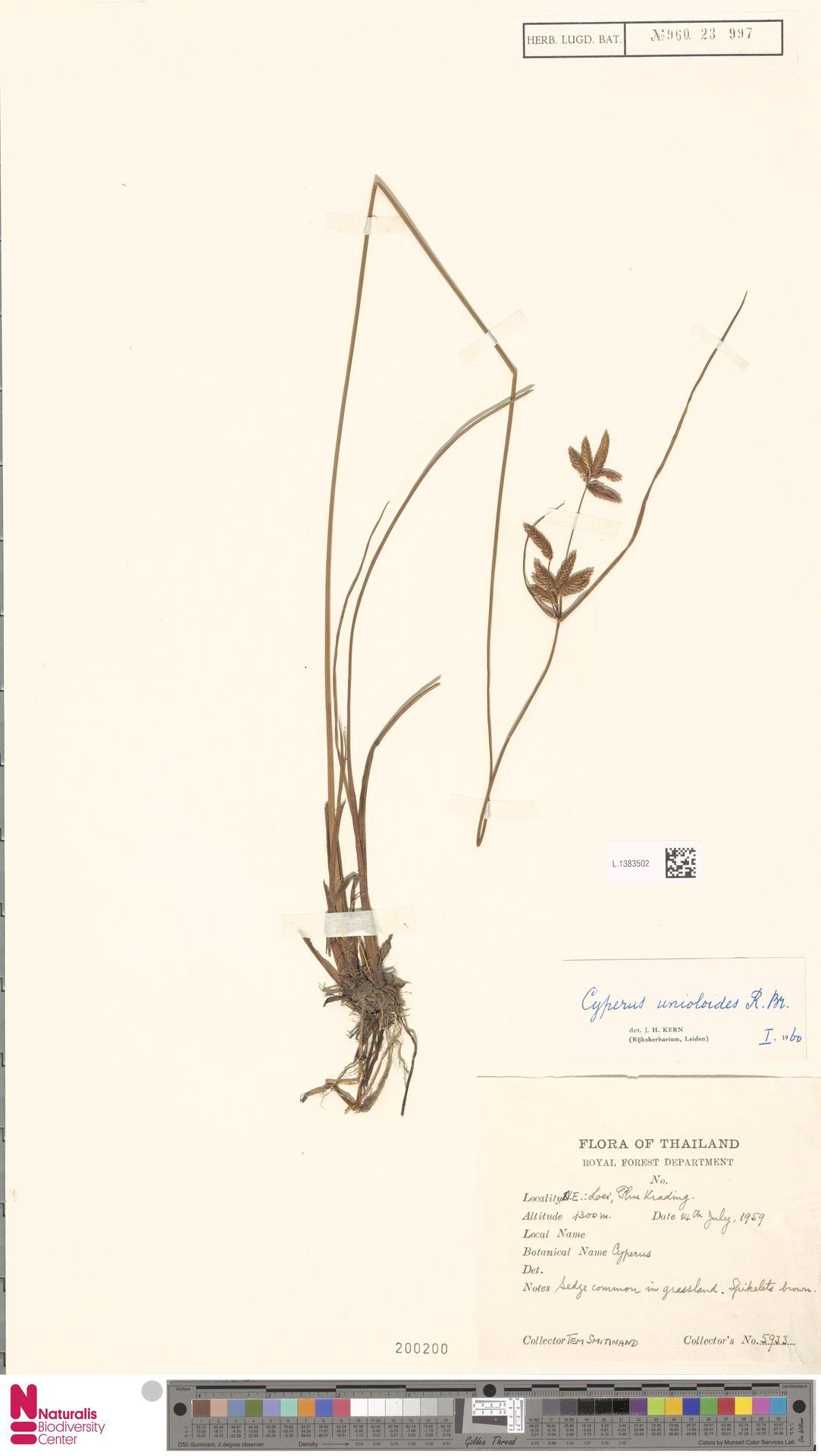 L.1383502 | Cyperus unioloides R.Br.