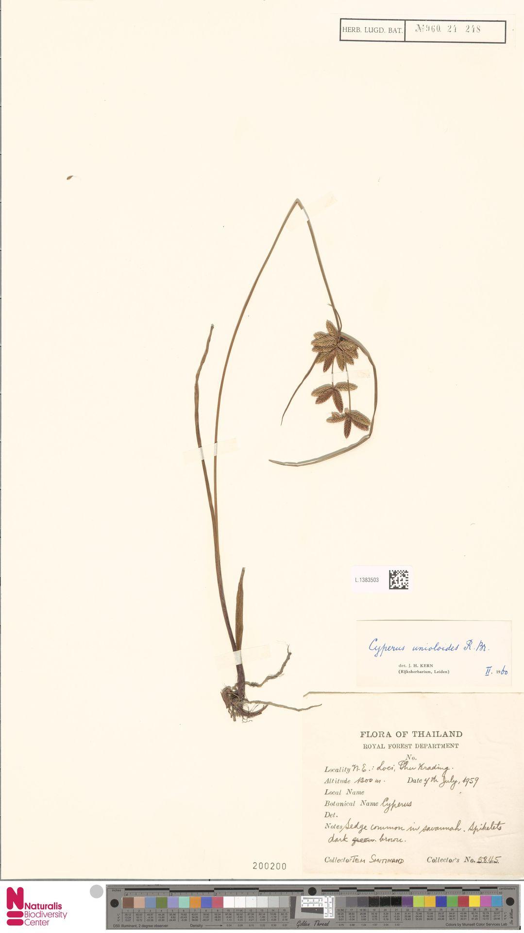 L.1383503 | Cyperus unioloides R.Br.