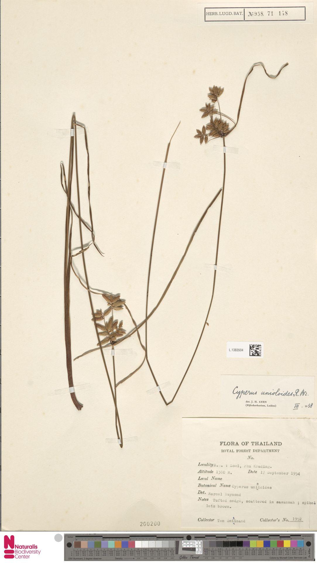 L.1383504 | Cyperus unioloides R.Br.