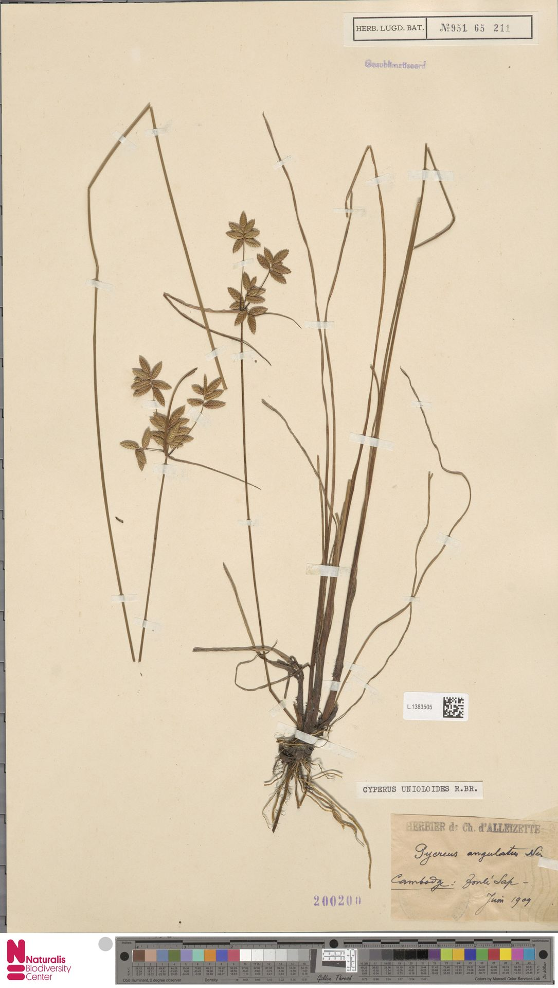 L.1383505 | Cyperus unioloides R.Br.