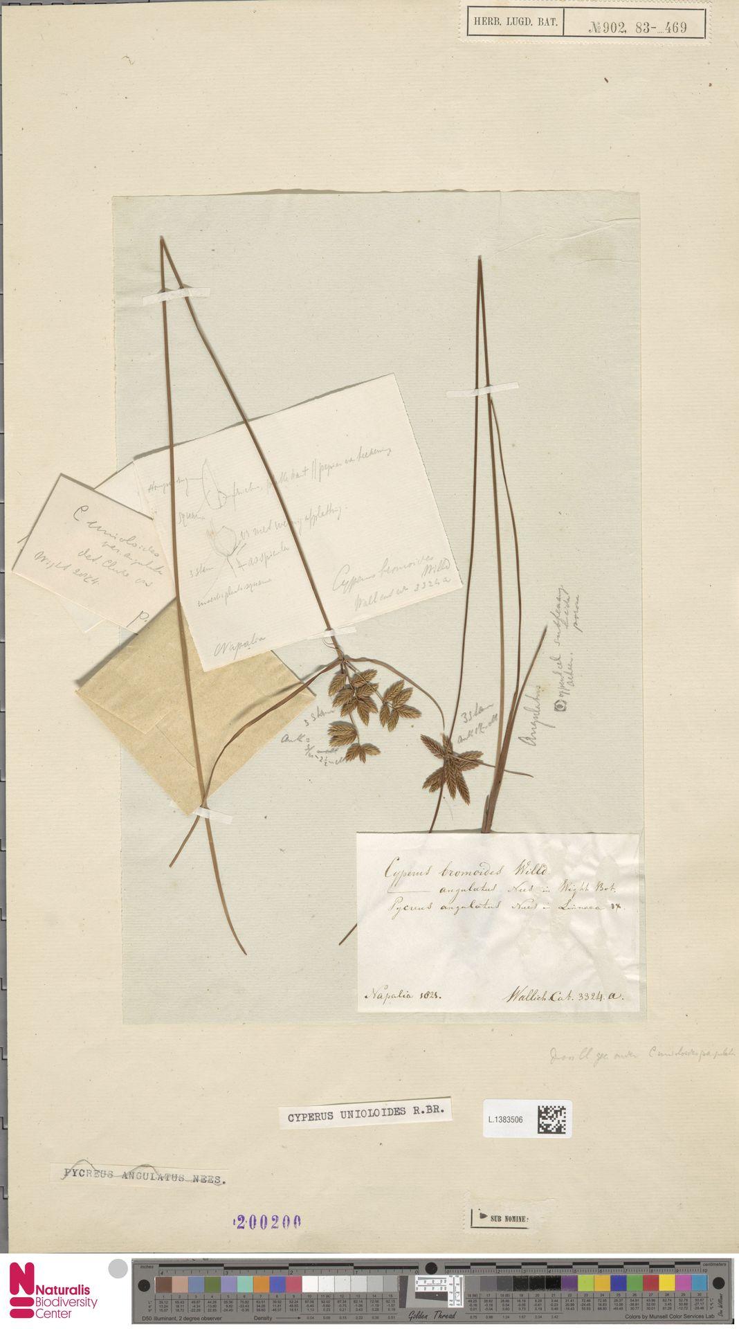 L.1383506 | Cyperus unioloides R.Br.