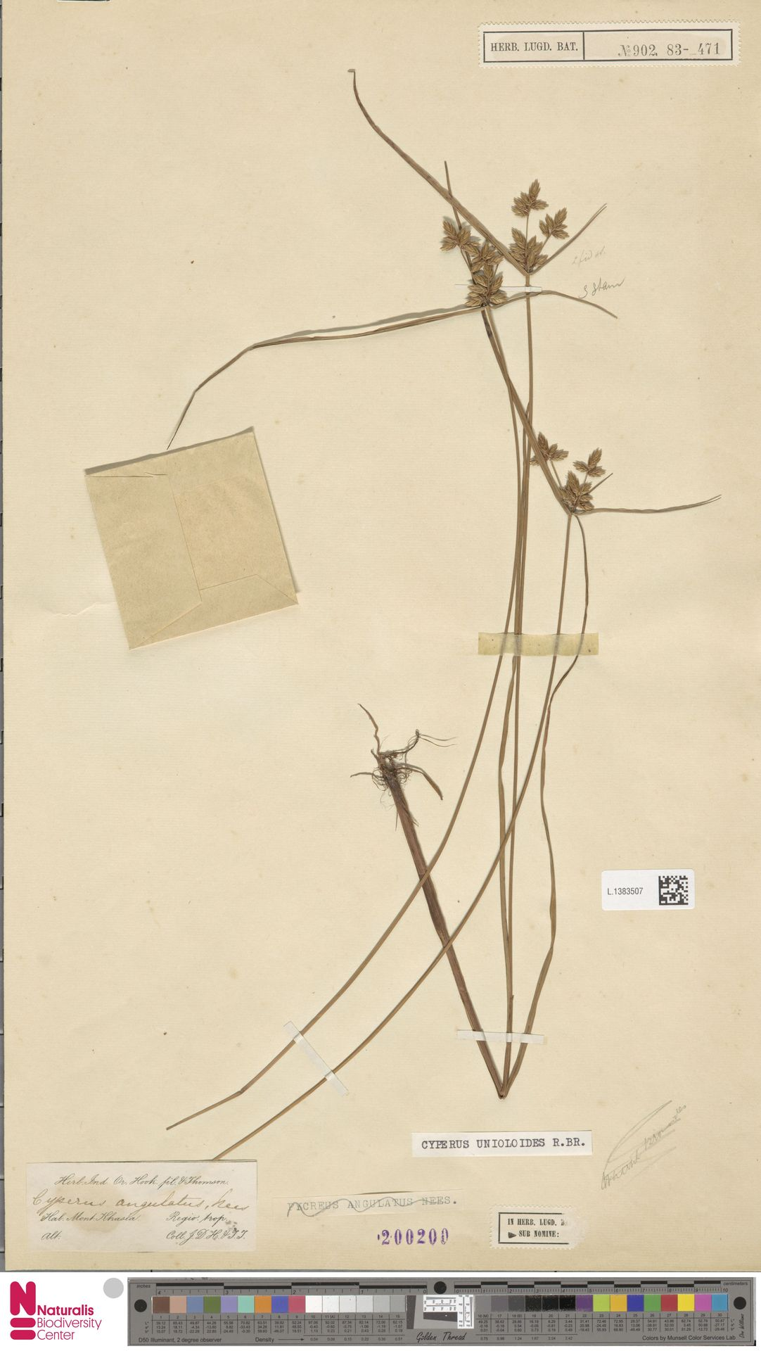 L.1383507 | Cyperus unioloides R.Br.