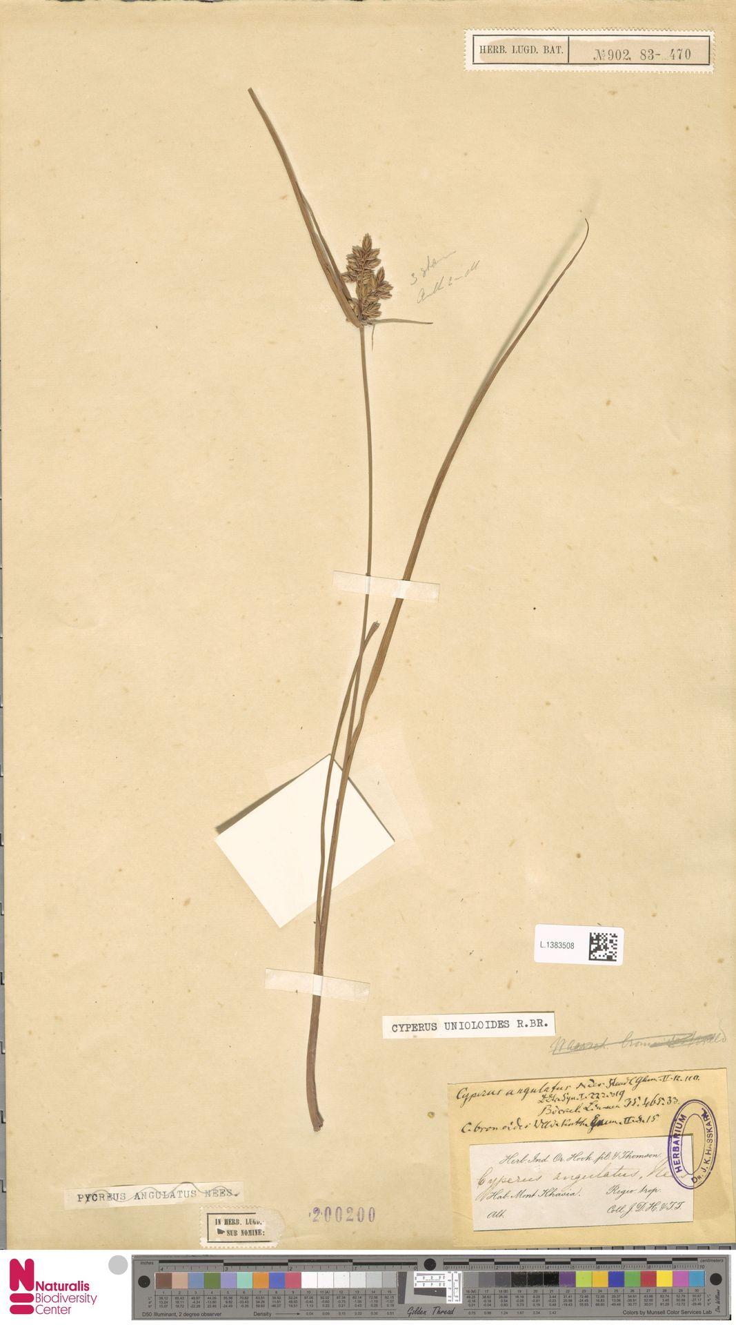 L.1383508 | Cyperus unioloides R.Br.