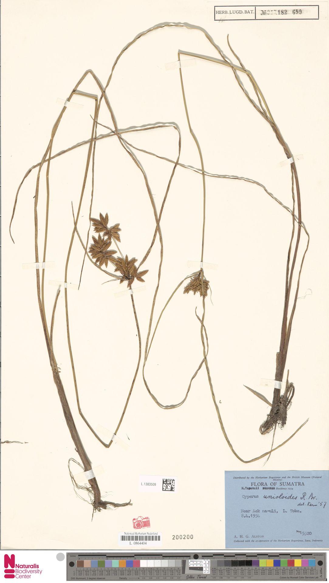 L.1383509 | Cyperus unioloides R.Br.