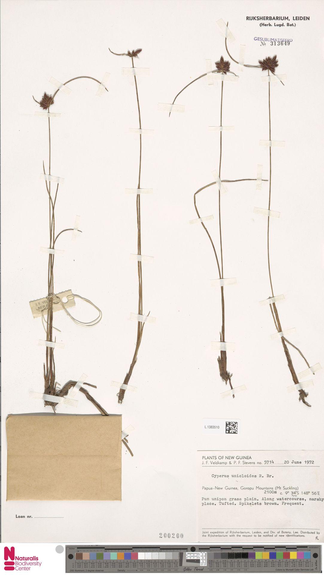 L.1383510 | Cyperus unioloides R.Br.