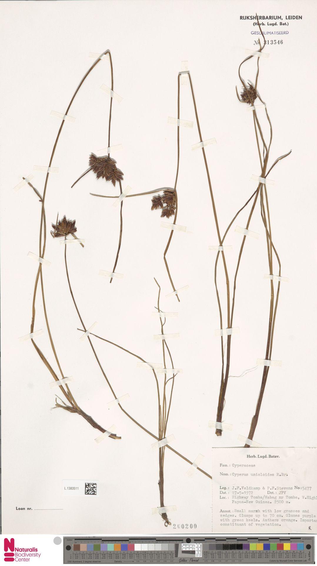 L.1383511   Cyperus unioloides R.Br.