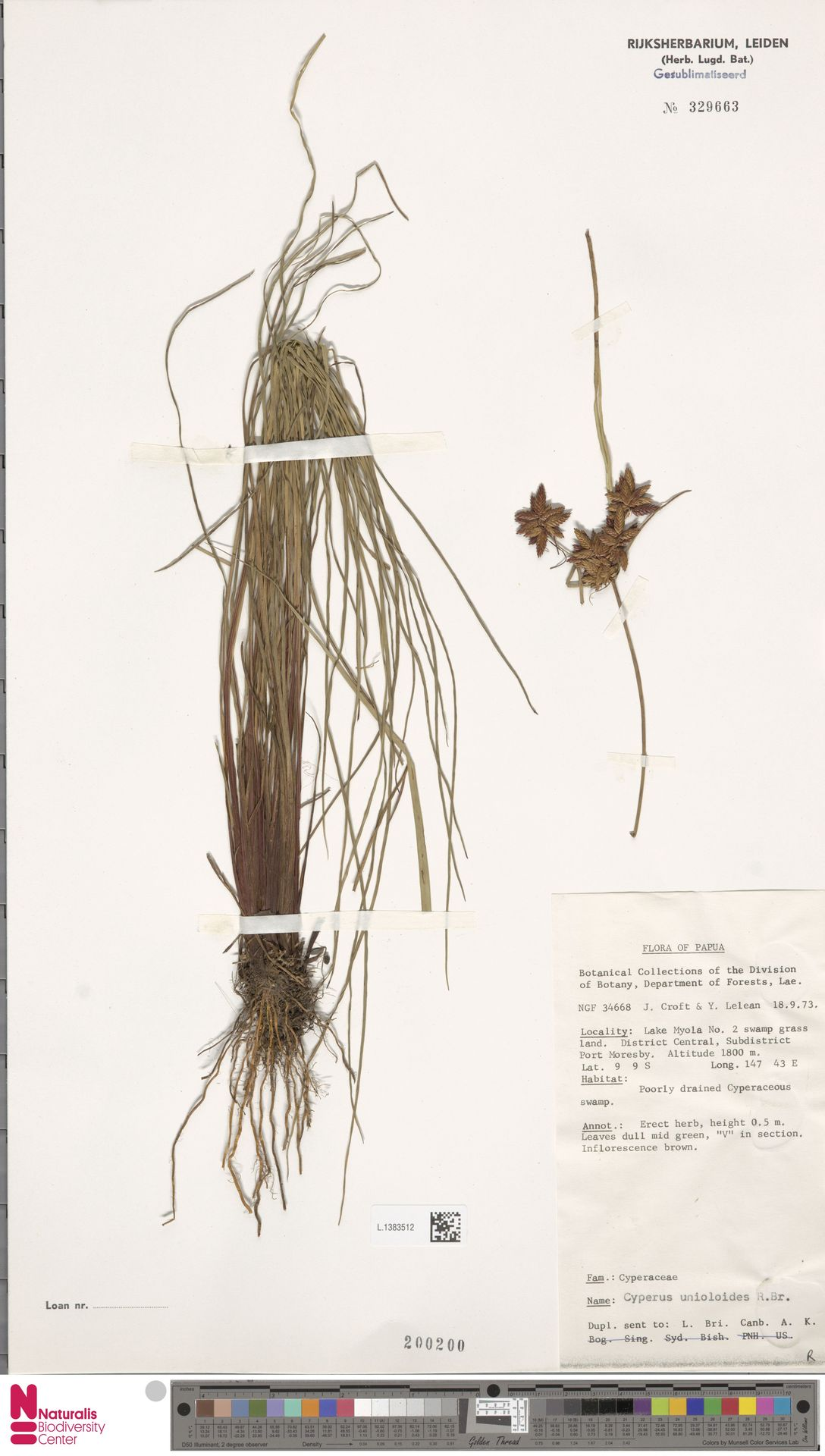 L.1383512 | Cyperus unioloides R.Br.