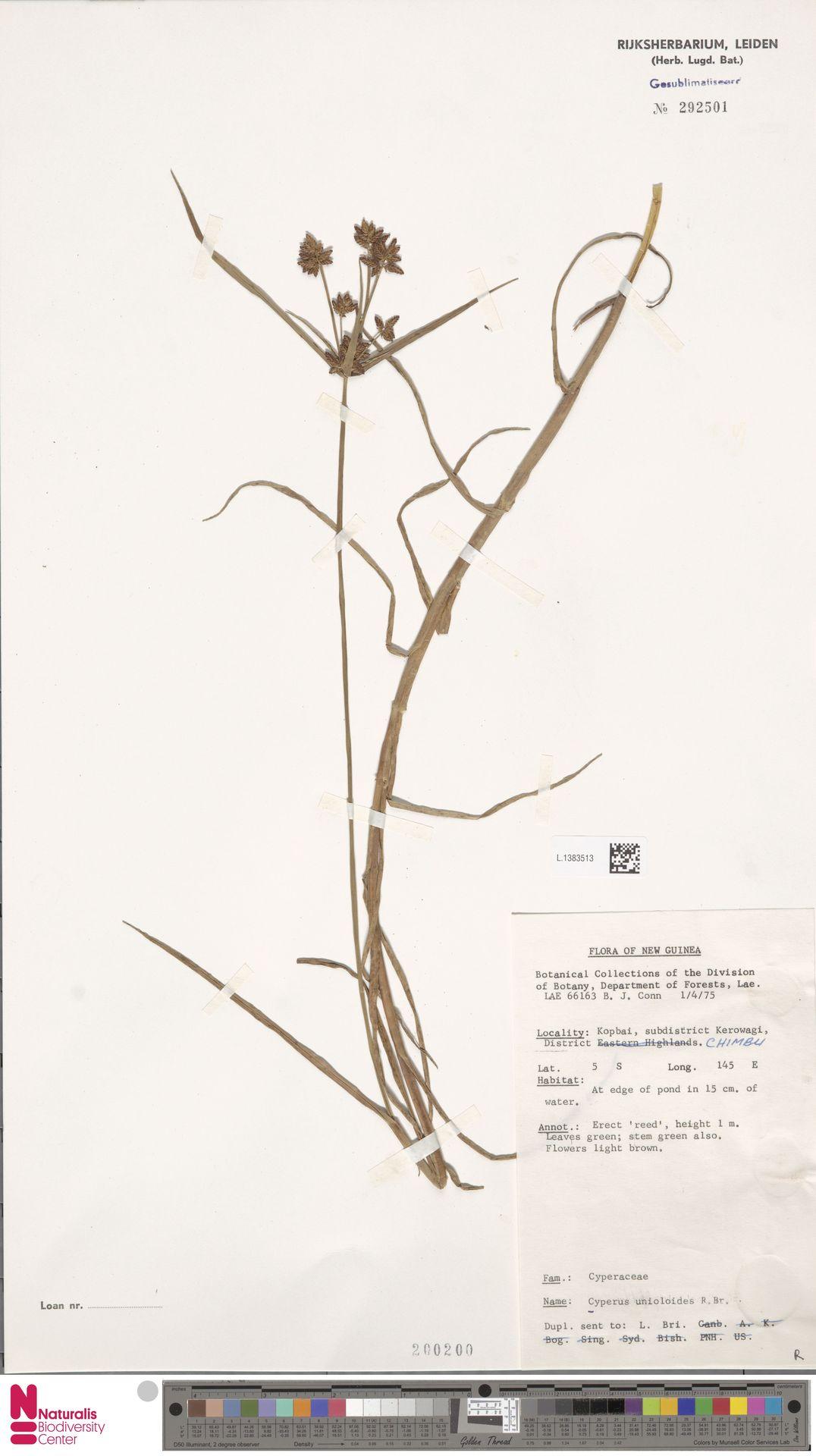 L.1383513 | Cyperus unioloides R.Br.