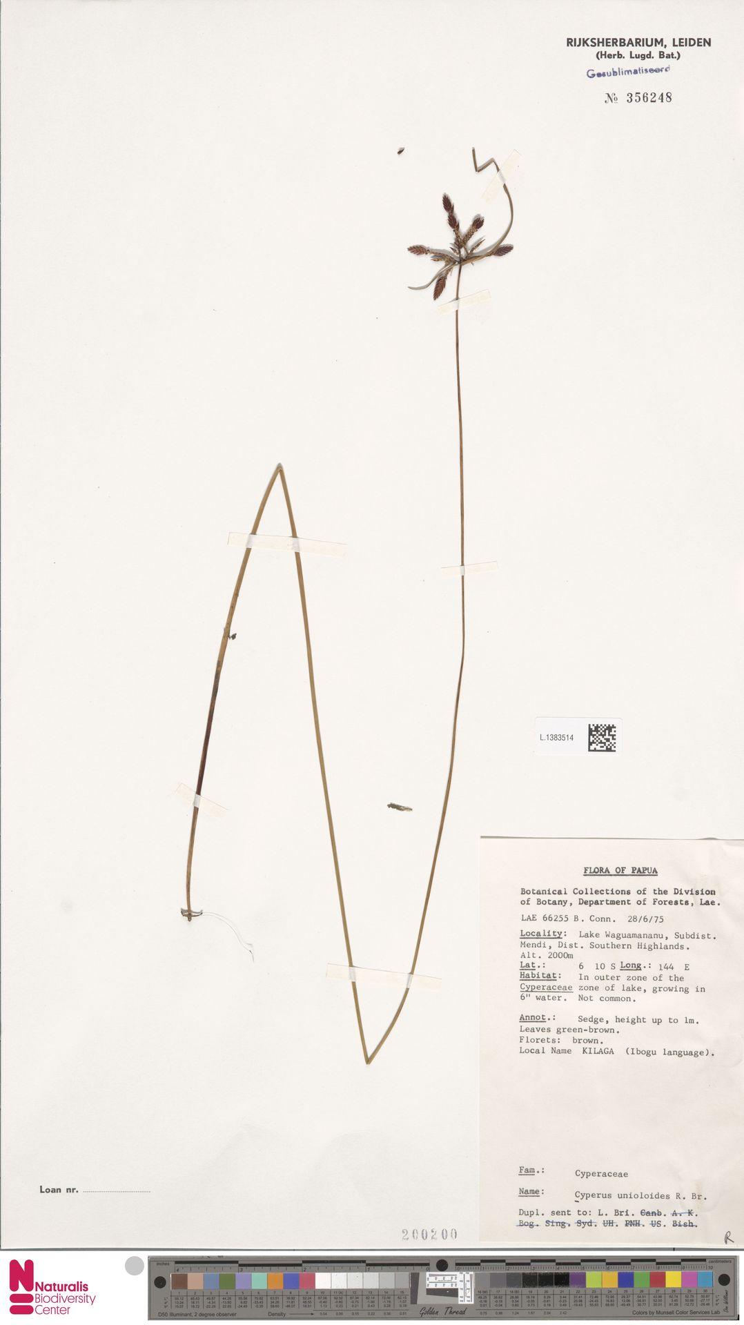 L.1383514 | Cyperus unioloides R.Br.