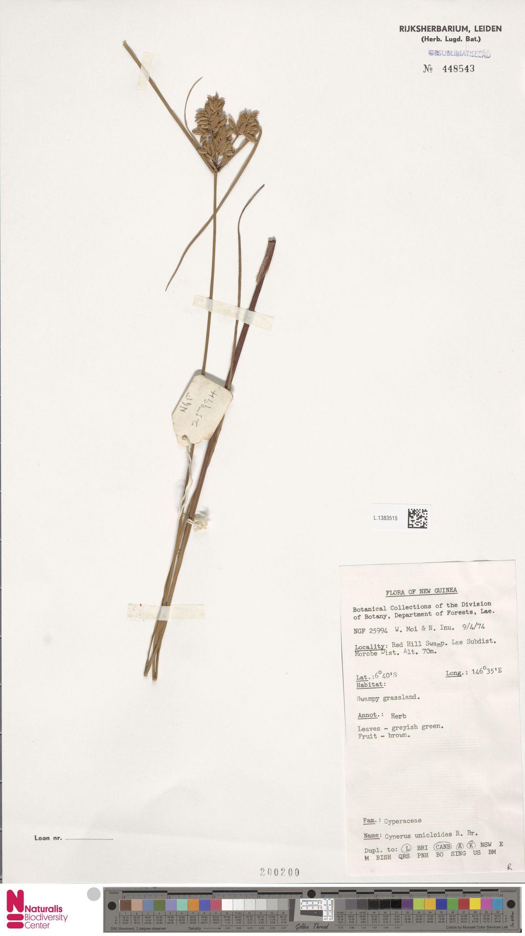 L.1383515 | Cyperus unioloides R.Br.