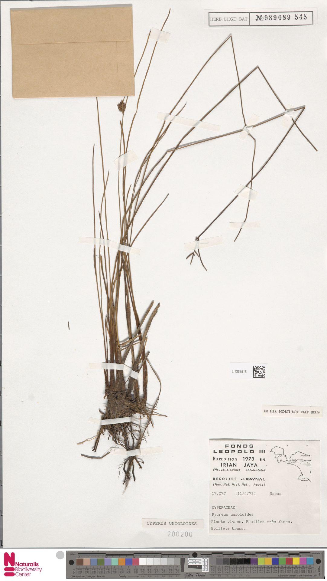 L.1383516 | Cyperus unioloides R.Br.
