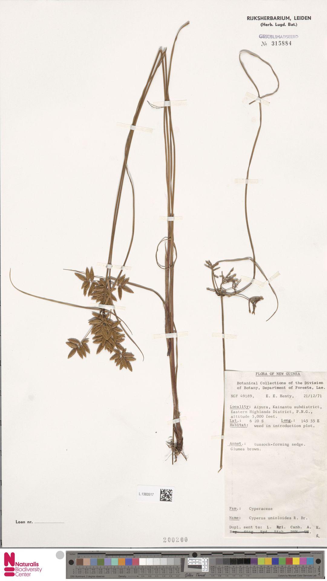 L.1383517 | Cyperus unioloides R.Br.
