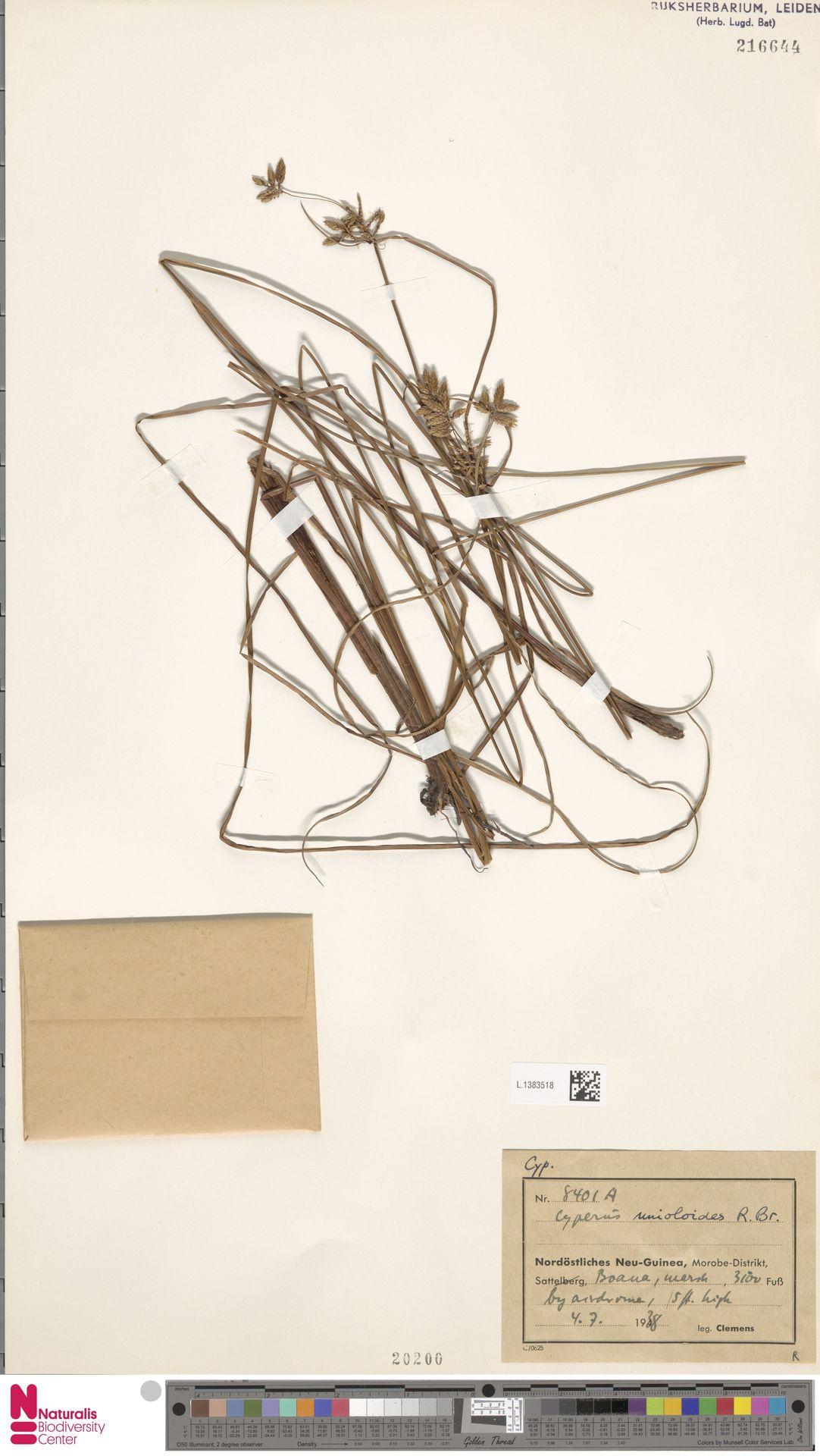L.1383518 | Cyperus unioloides R.Br.