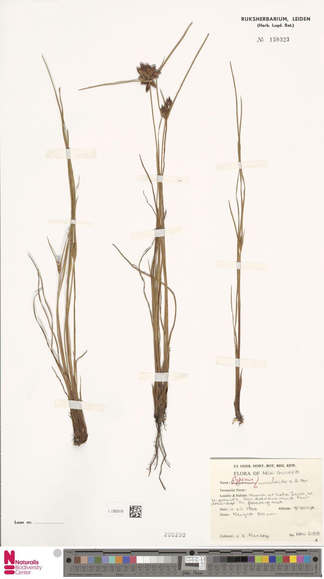L.1383519 | Cyperus unioloides R.Br.